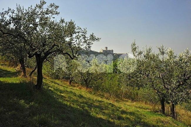La fascia olivata Assisi-Spoleto è Paesaggio storico