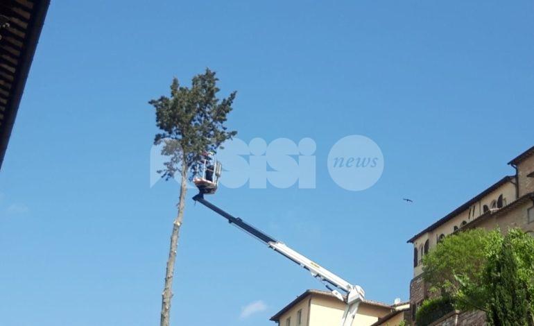 Cipresso di via Fontebella addio: Assisi perde un albero centenario (foto)
