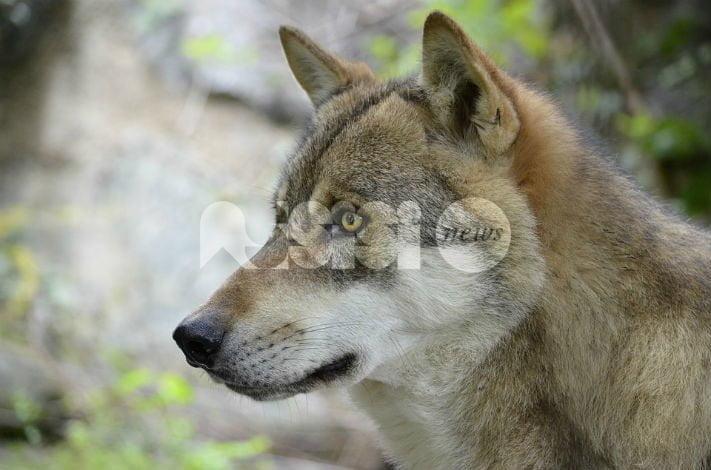 Giornata del lupo, ad Assisi una mostra e un convegno: verrà firmato anche un patto per l'equilibrio ecologico