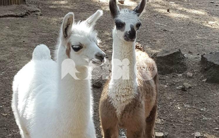 Perugia, alla Città della Domenica nati due lama e un wallaby
