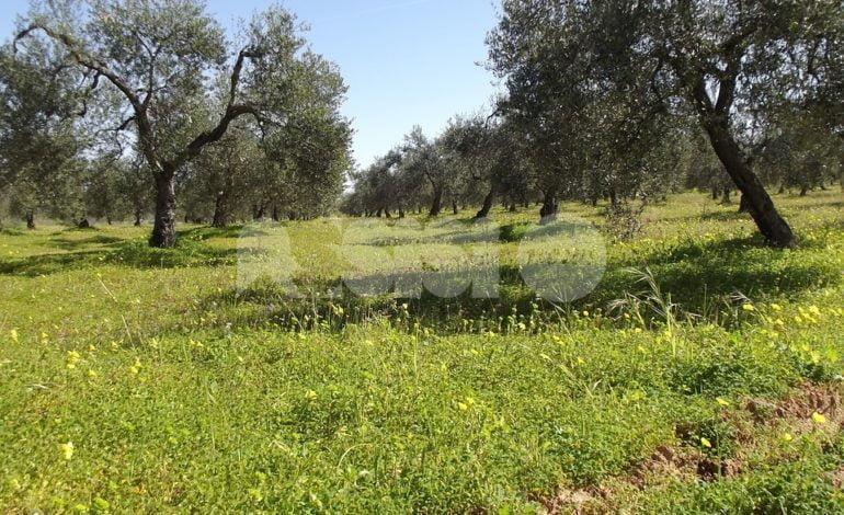 Gli ulivi secolari Assisi-Spoleto e i vigneti del Soave candidati Giahs-Fao