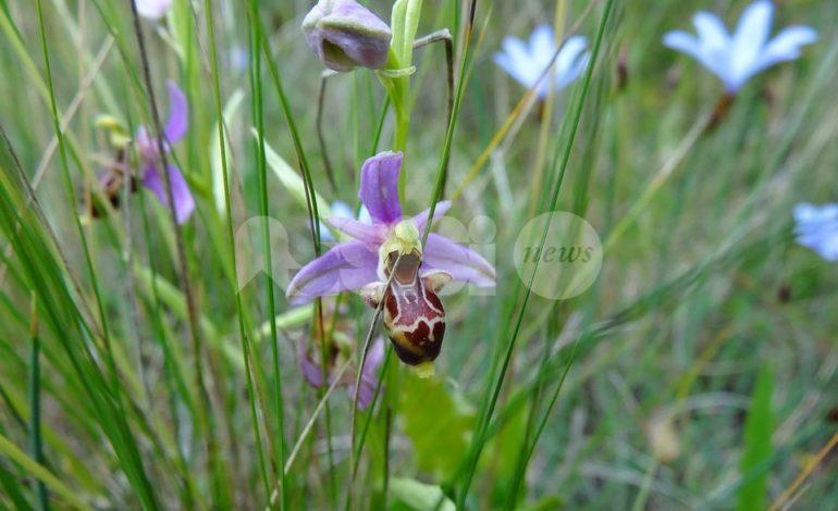 A Spello una due giorni sulle orchidee spontanee del Monte Subasio