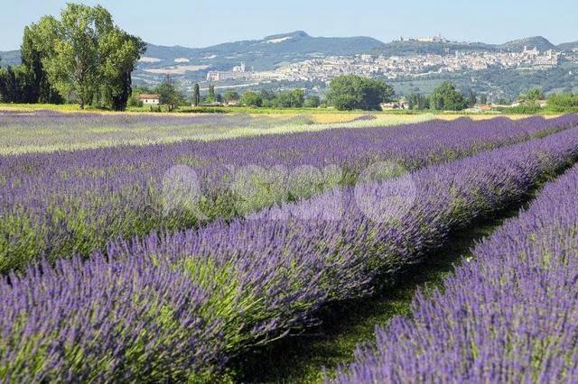 Torna la Festa della Lavanda 2018 a Castelnuovo di Assisi: il programma