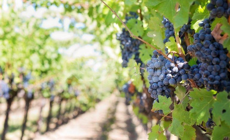 Al via ad Assisi il corso di potatura delle viti, alberi da frutto e innesto