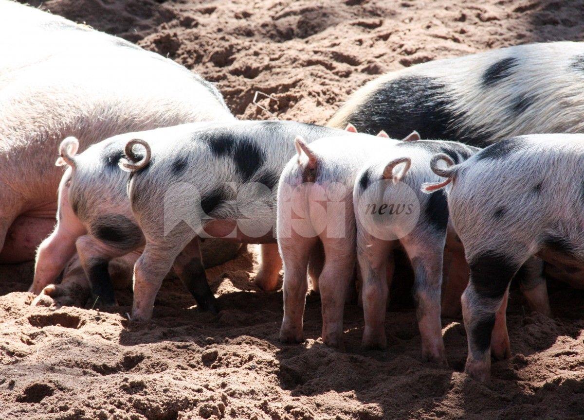 Cannara, oltre cento maiali rispediti in Polonia: non erano identificati correttamente