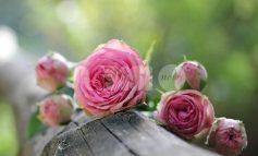 I giorni delle Rose 2019, il programma a Spello dal 31 maggio al 2 giugno