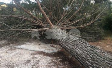 Centro ricreativo Eliseo Biagetti, cade un grosso pino marittimo