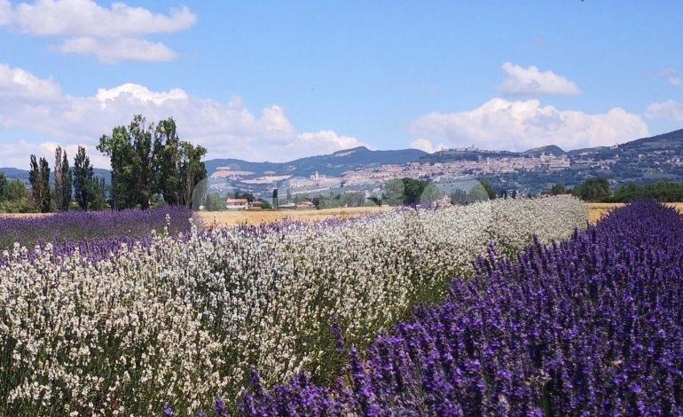 Torna la Festa della Lavanda 2019 a Castelnuovo di Assisi: il programma