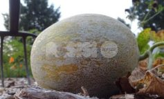Furti nei campi, a Bettona i ladri affamati rubano una ventina di meloni