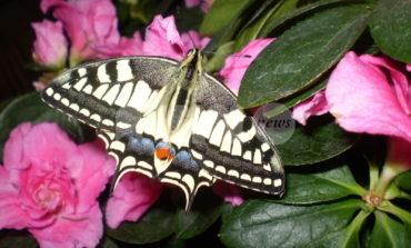 Le farfalle e la fauna del Subasio alla Società Fortini il 4 e 6 ottobre