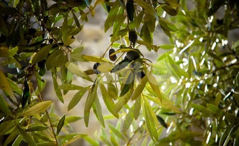 Corso di potatura dell'olivo 2020 ad Assisi, il programma delle lezioni