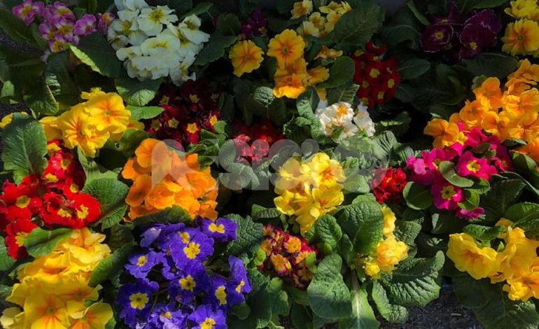 Piantine di fiori gratis a Rivotorto, il gesto di Gianfranco Bazzoffia