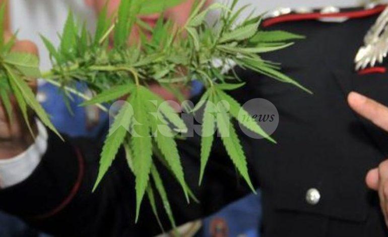 Piantagione di cannabis a Valfabbrica, tre ragazzi denunciati