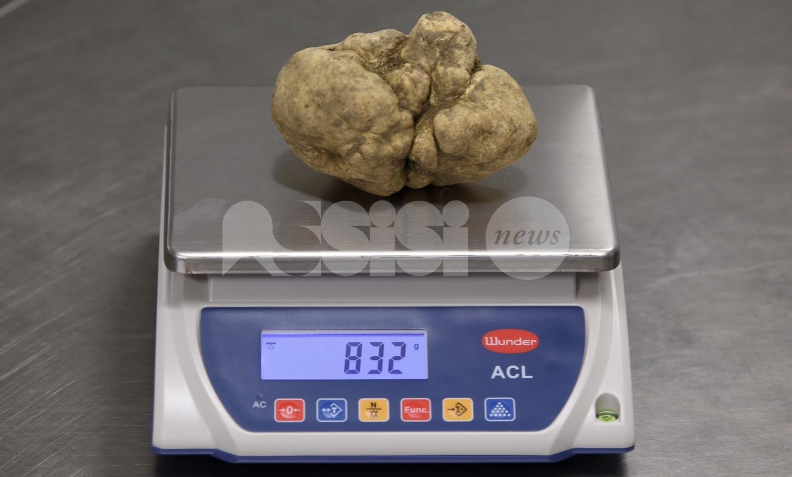 Maxi tartufo da record trovato a Spello: pesa 830 grammi (FOTO)
