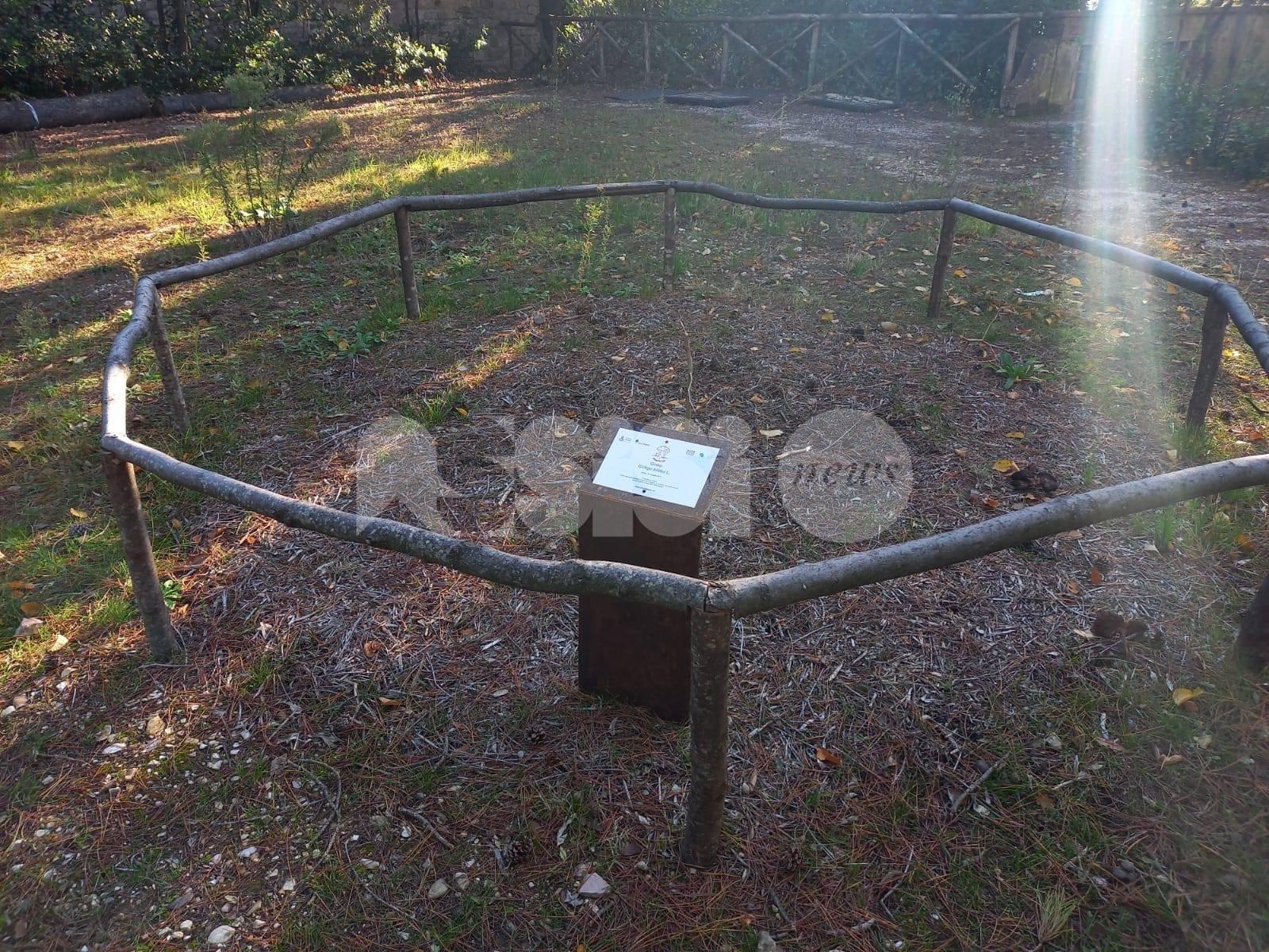 Danneggiato da ignoti il ginkgo biloba piantato al Pincio di Assisi