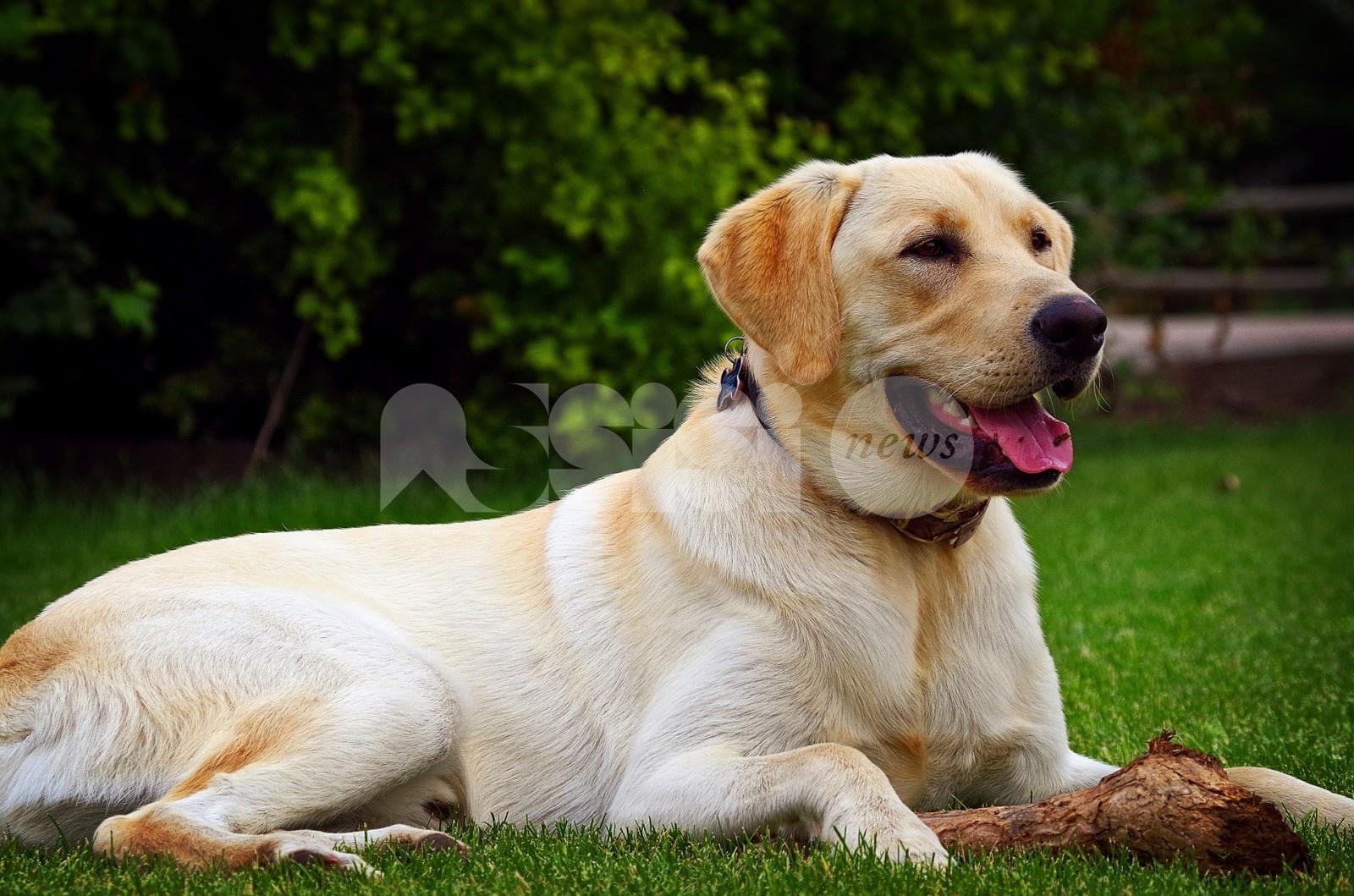 Labrador legata con una catena corta in ferro: denunciato il proprietario