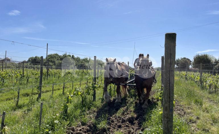 Eponalia, da Assisi l'idea di promuovere il lavoro agricolo a trazione animale