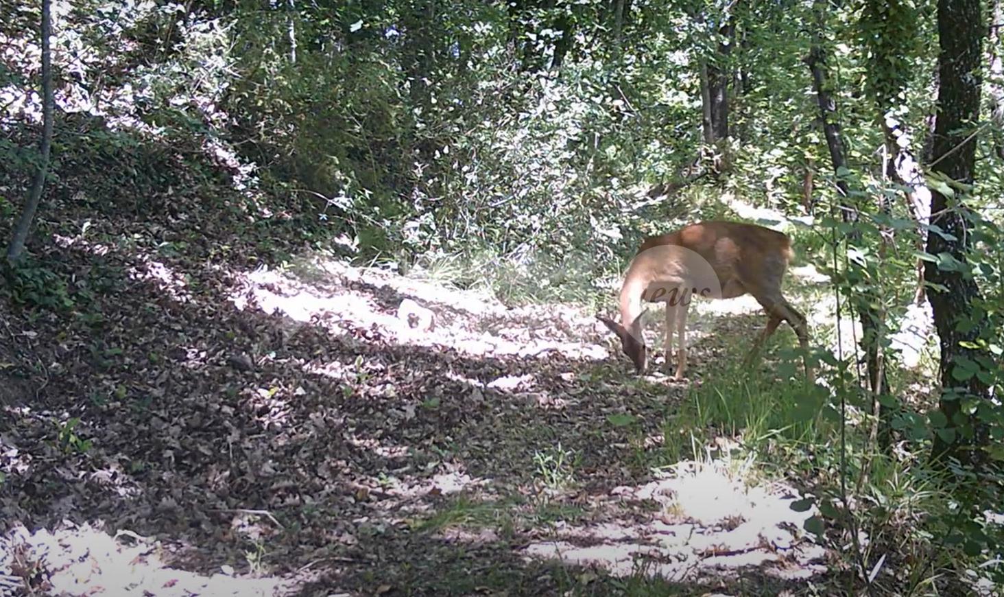 Bambi e un lupo ripresi a Nocera Umbra da due piccoli esploratori (video)