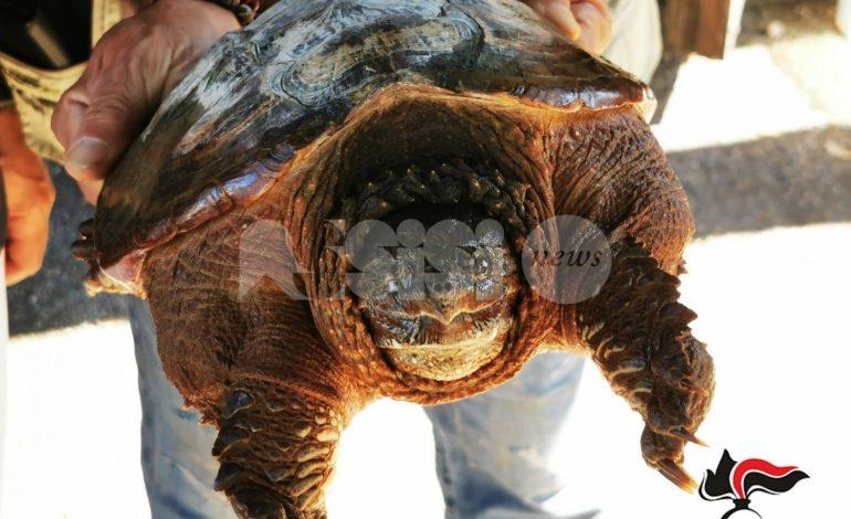 Tartaruga azzannatrice sequestrata a Cannara: è vietato detenerla in Italia